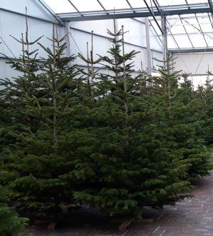 X Kerstbomen